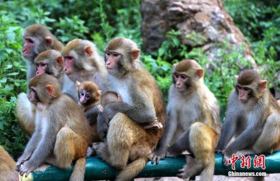 水果宴吸引多群猕猴分批轮番上阵品尝冰果盛宴。中新社记者 王中举 摄