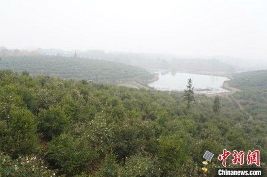 图为冬季的光山县油茶种植基地。 阚力 摄