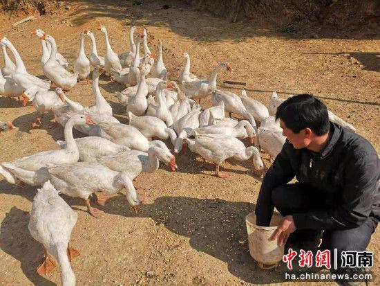 图为汪存良正在喂养鹅群 董勇 摄