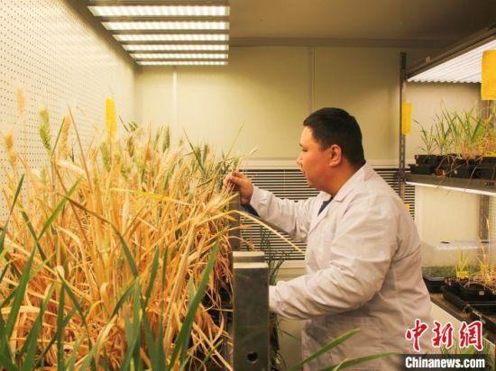 高焕庭在实验室中的温室里查看农作物、植物生长过程等。 李明明 摄