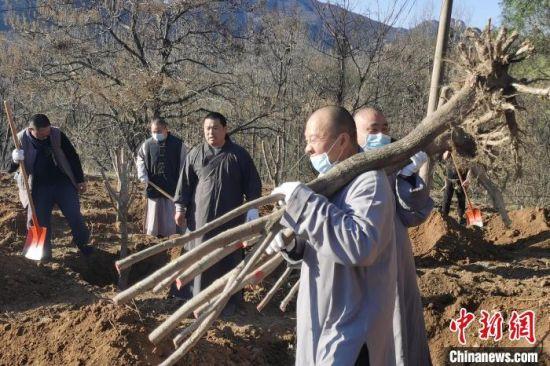 正在搬运树木的少林僧人。 少林寺供图 摄