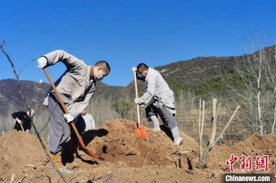 种植树木的少林僧人。 少林寺供图 摄