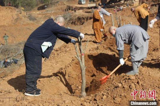 种植树木的少林僧众们。 少林寺供图 摄