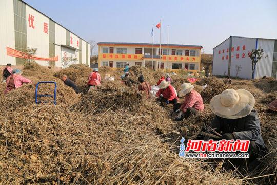 河南南召艾草产业:群众增收致富的朝阳产业
